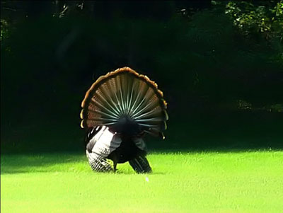 President Obama pardons turkey