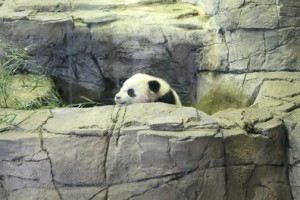 The most important news ever: New baby panda Bao Bao makes her public debut