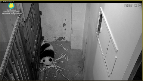 The Smithsonian National Zoo has live cameras for several animal exhibits (https://nationalzoo.si.edu/webcams). Pictured here is a screenshot of the adorable baby panda Xiao Qi Ji sleeping on the stream.